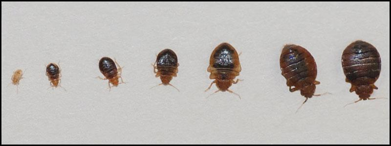all the life stages of bed bugs