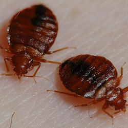 two adult bed bugs