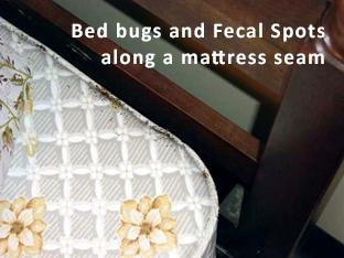 bed bugs and fecal spots along a mattress seam