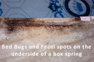 Bed Bugs and fecal spots on the underside of a box spring