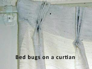 bed bugs in the pleats of a curtain