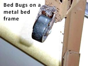 bed bugs on a metal bed frame