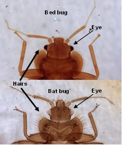 bed bug vs. bat bug