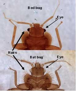 Bat Bug compared to Bed Bug