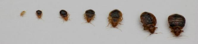 bed bug life stages, showing bed bugs from when they hatch through adult