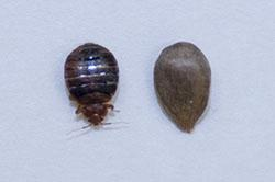 Adult bed bug compared to appleseed for size and shape