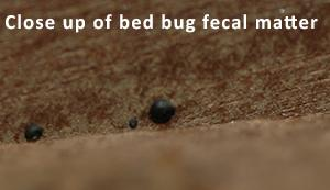 Control Of Bed Bugs In Residences Information For Pest